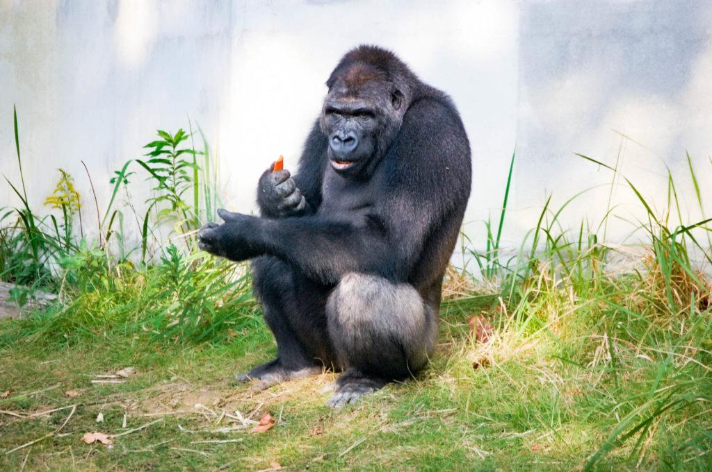 食事中でもかっこよくキメるゴリラの写真
