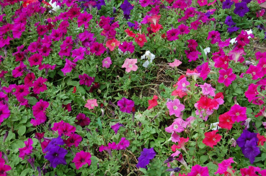 花壇に咲くペチュニア