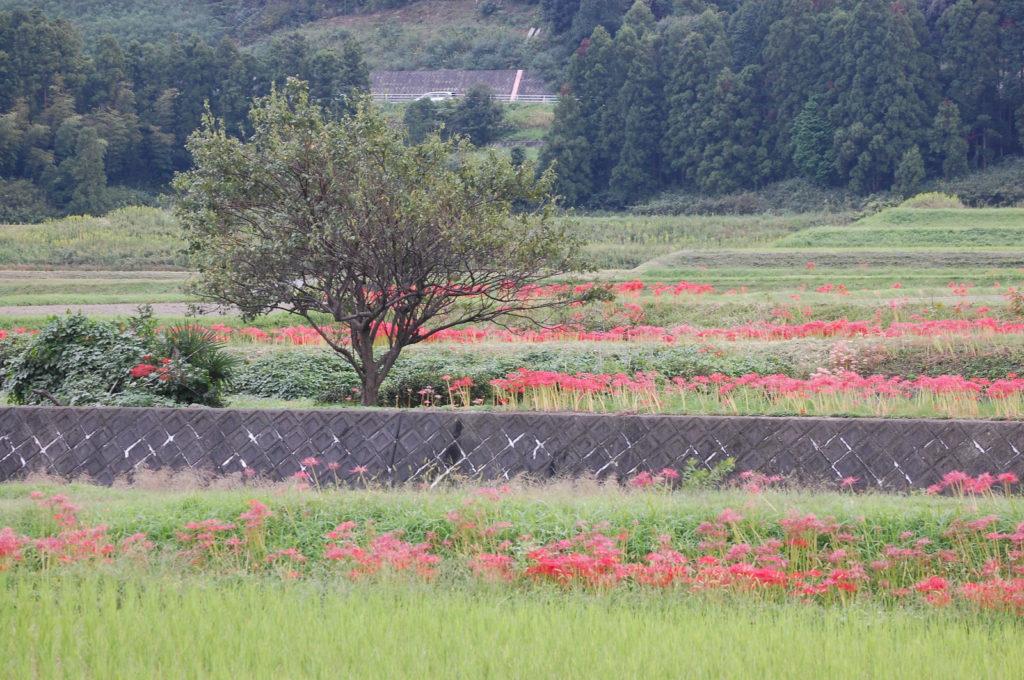 田んぼの周りに咲く彼岸花
