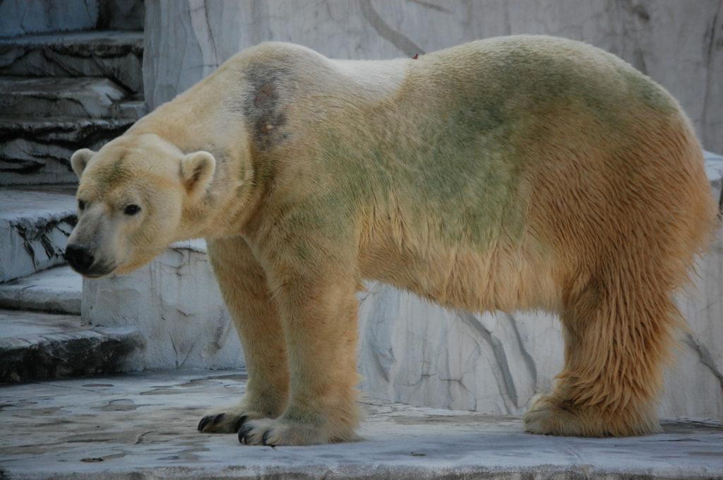 愛嬌のある顔をした白熊