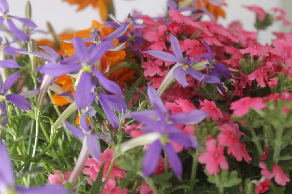 イソトマの花を寄せ植えのアクセントに