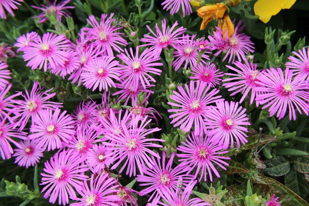 松葉菊(マツバギク)の花言葉