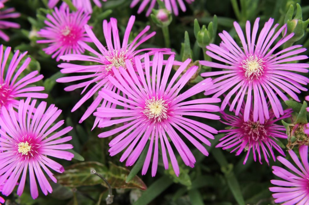 細長い花びらが綺麗な松葉菊(マツバギク)