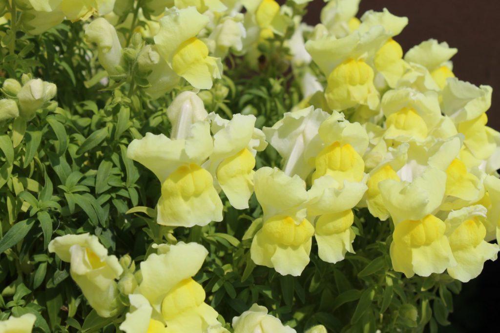 金魚草(キンギョソウ)の花言葉、誕生花