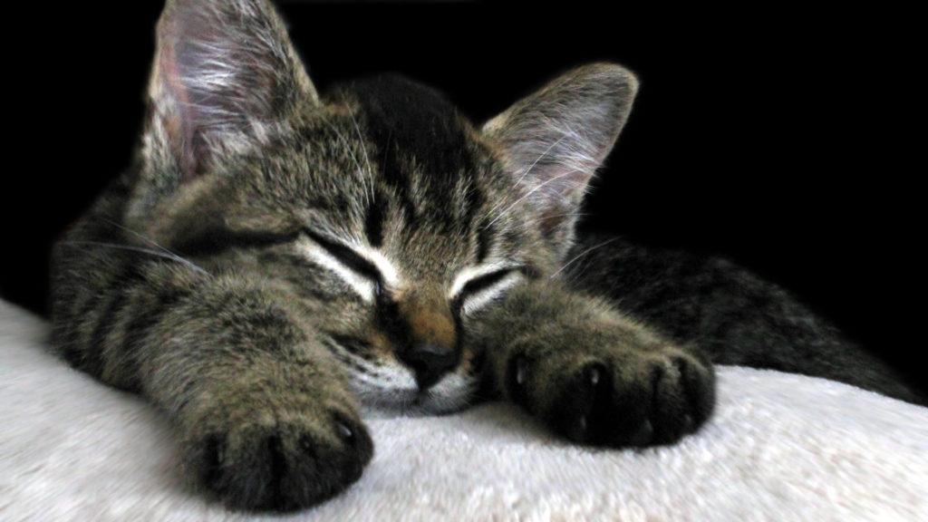 お昼寝をする子猫