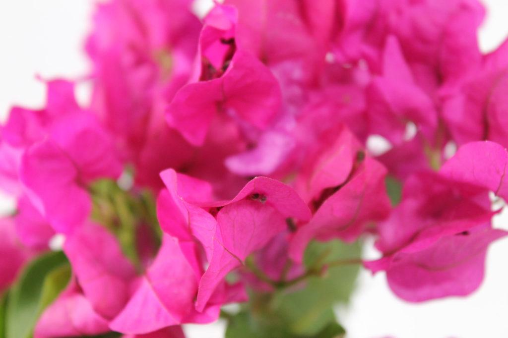 花びらが独特の形をしているブーゲンビリア
