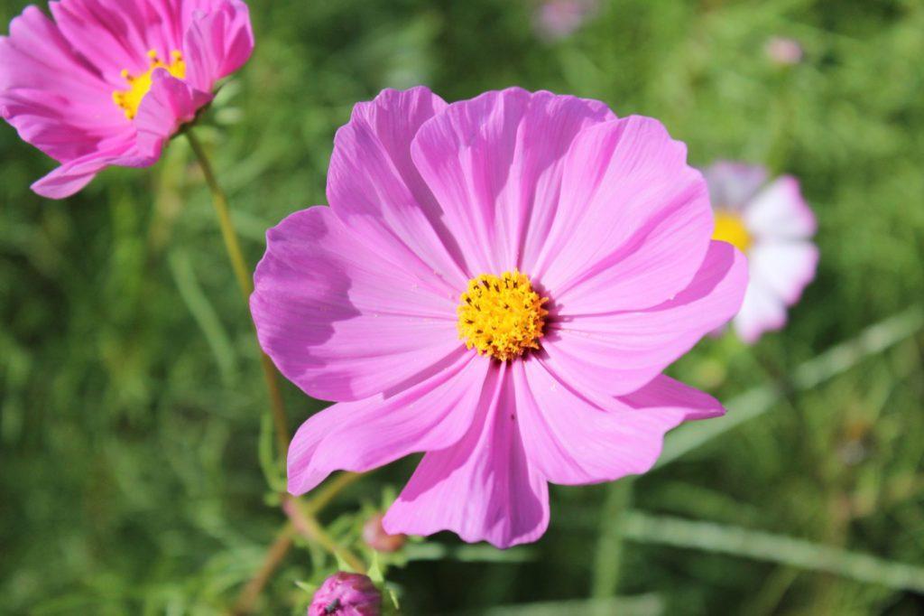 日当たりで紫にもピンク色にも変化するコスモスの花