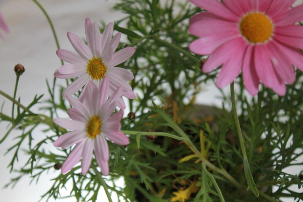 花びらの数が決まっていないマーガレットの花