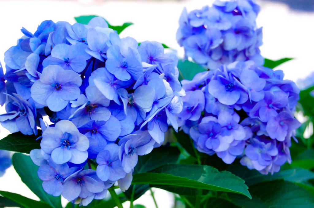青紫の紫陽花の写真