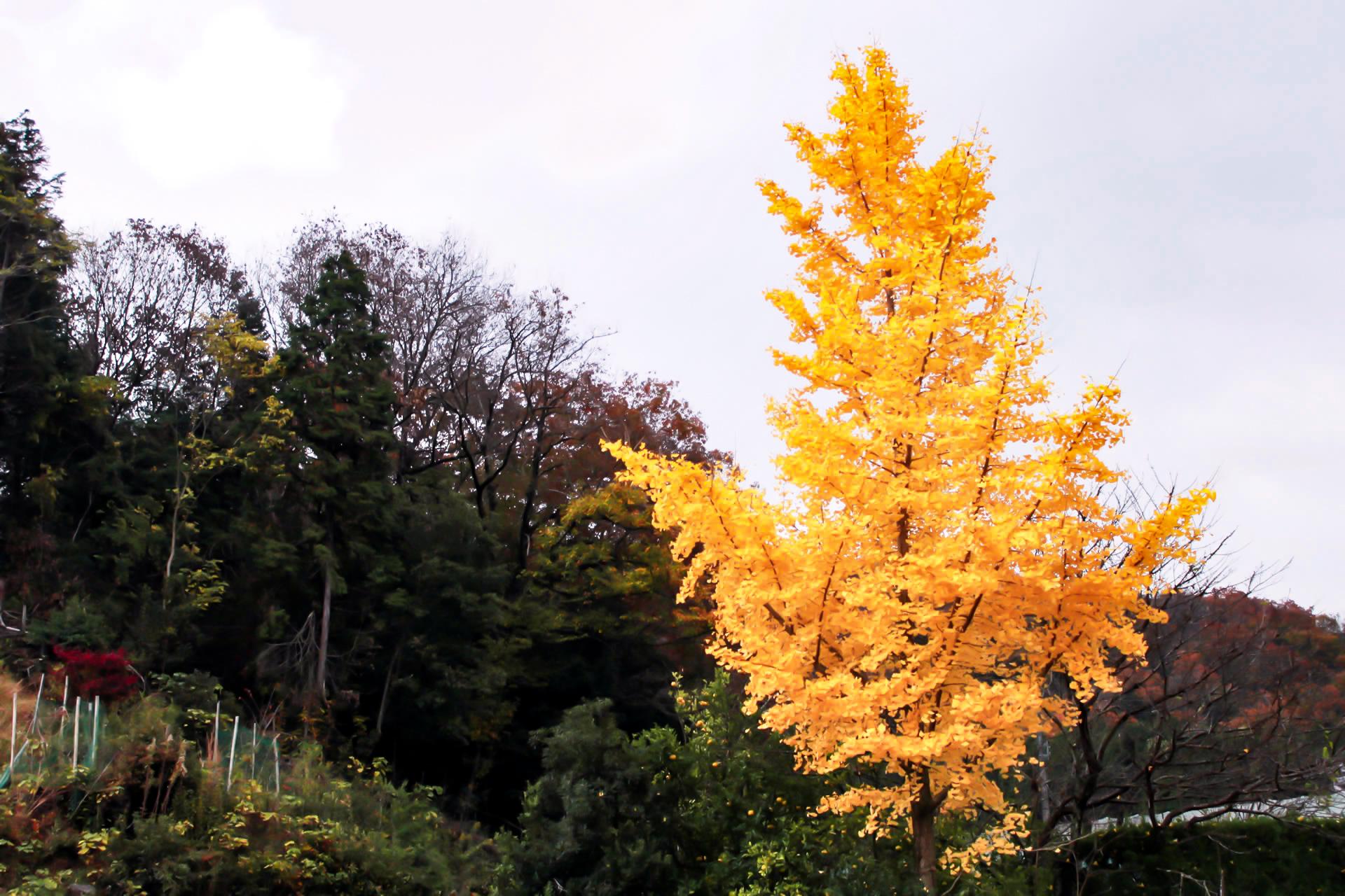曇天に光輝く銀杏の木