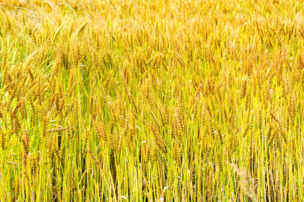 秋の麦畑の風景の写真
