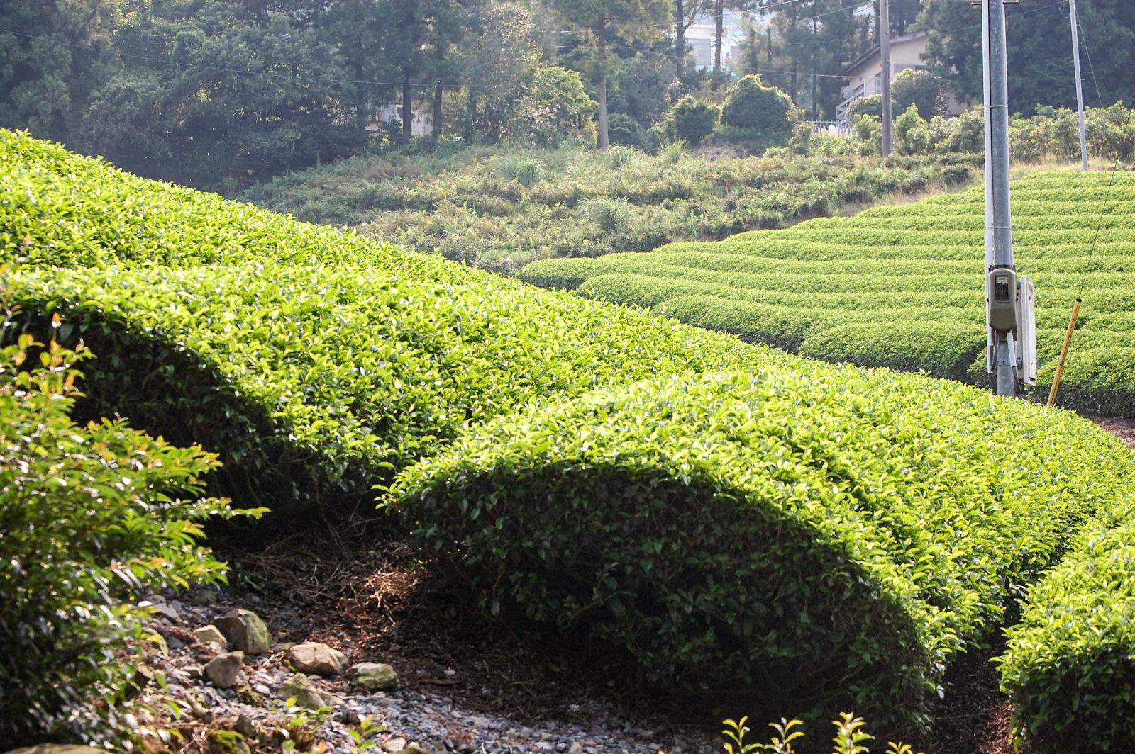 山肌に茶畑の写真