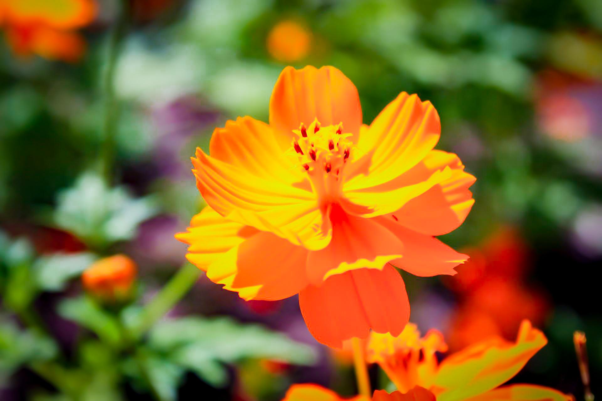 オレンジ色をした黄花コスモス