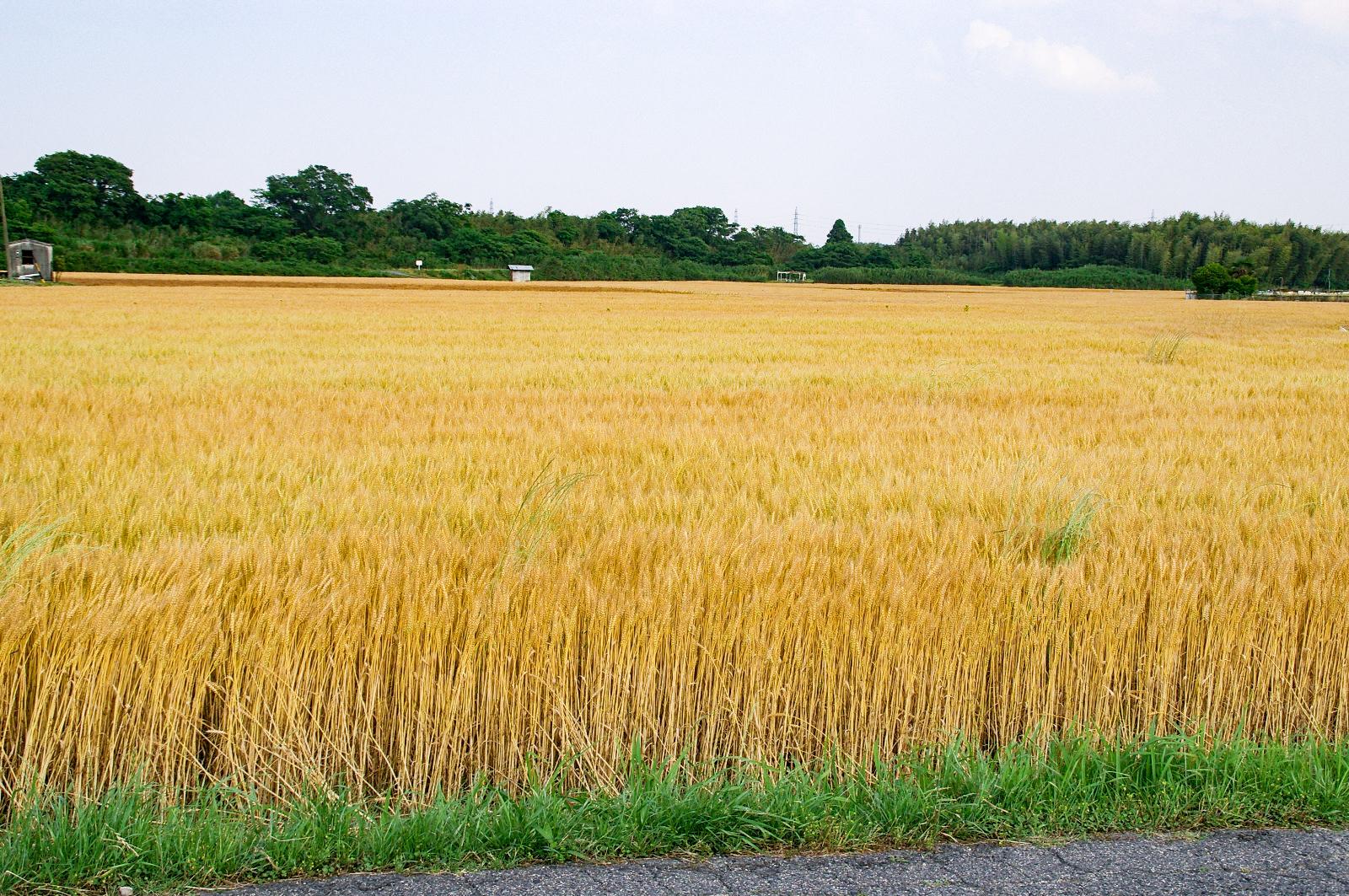 一面の秋の麦畑の写真