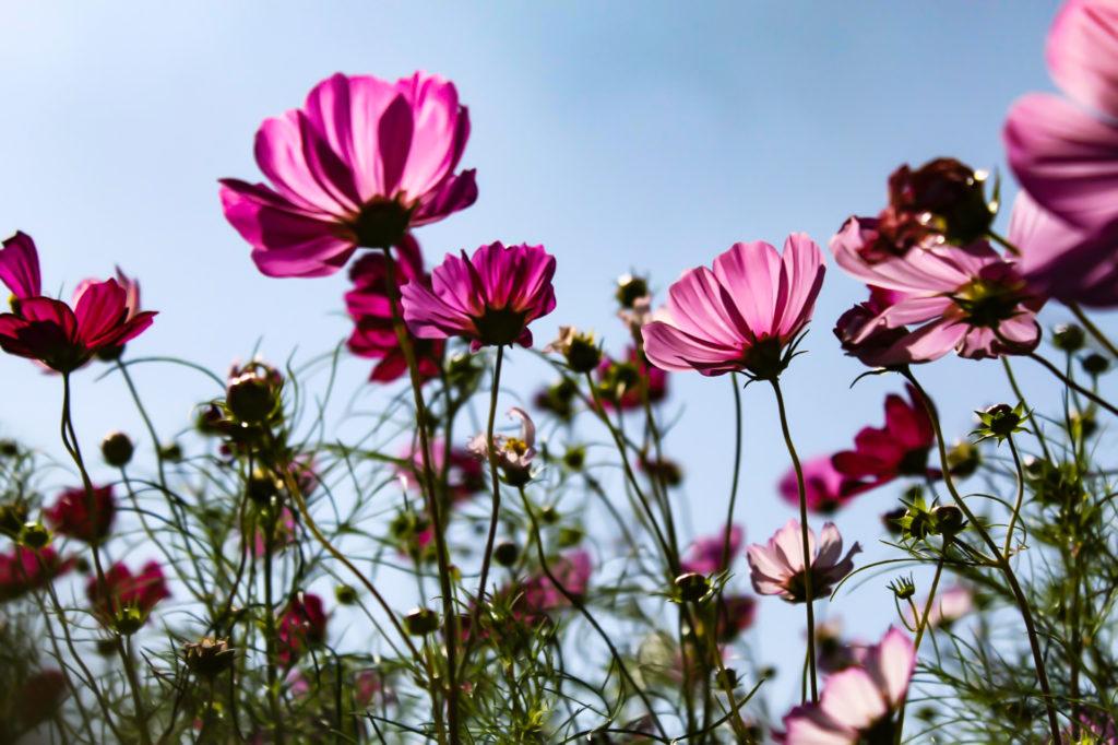 太陽に向かって花を向ける紫色のコスモス