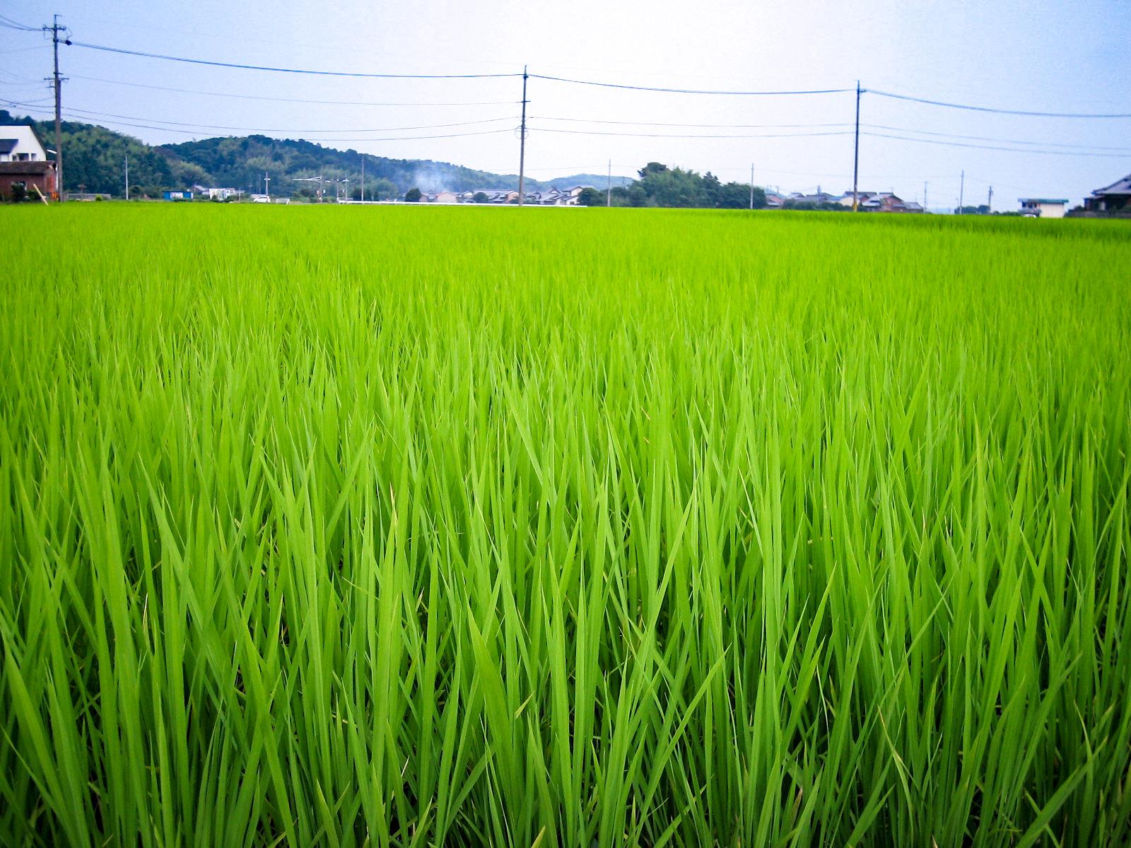 青々とした稲の写真