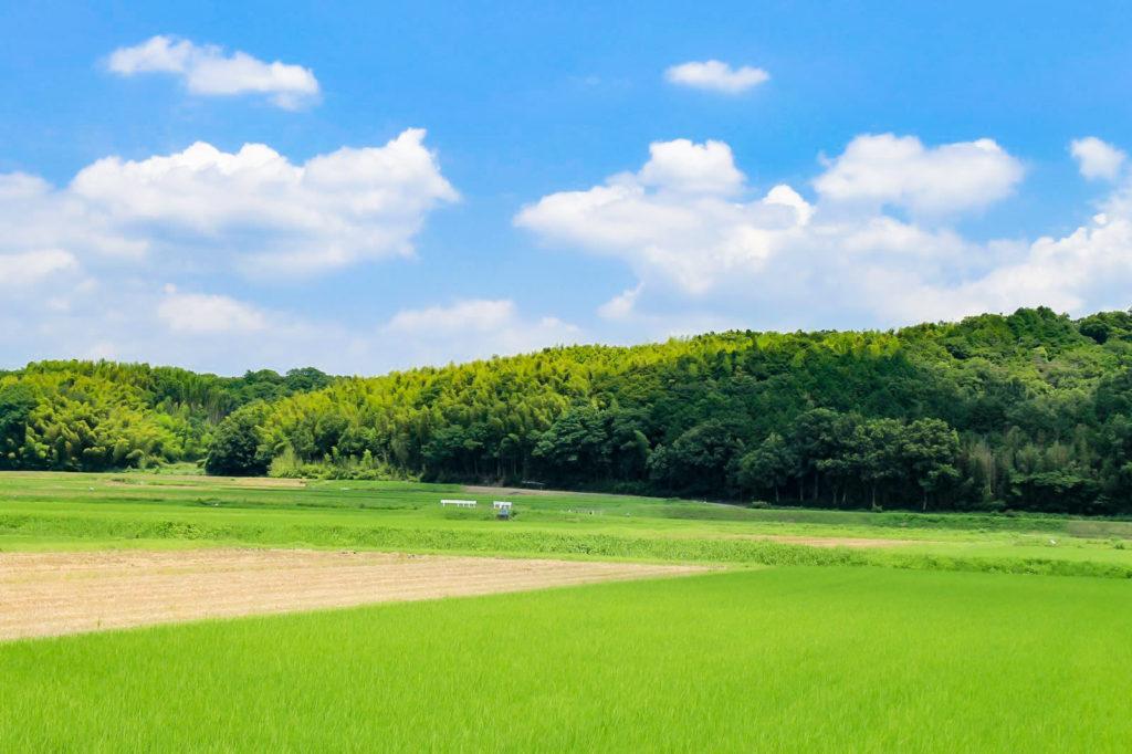 稲の絨毯(じゅうたん)