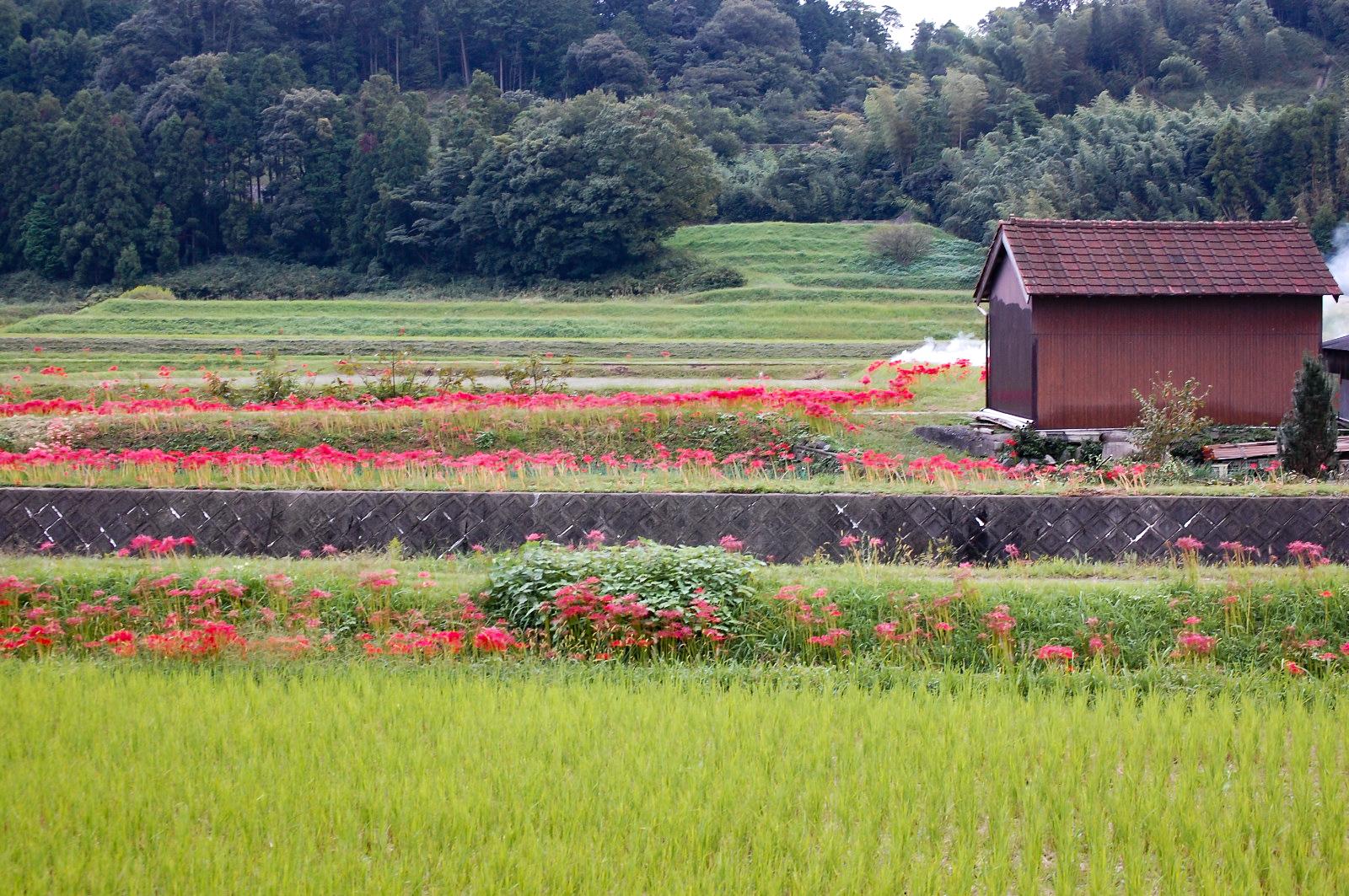 彼岸花が咲く田舎の風景