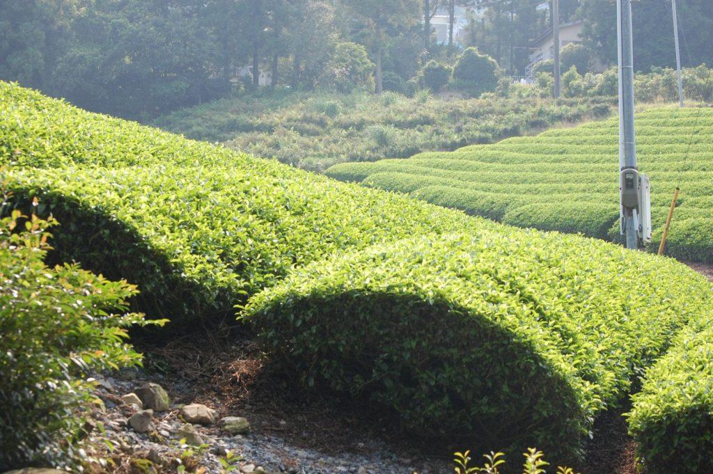 山肌に茶畑