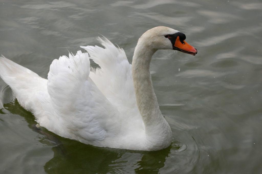白鳥(swan)