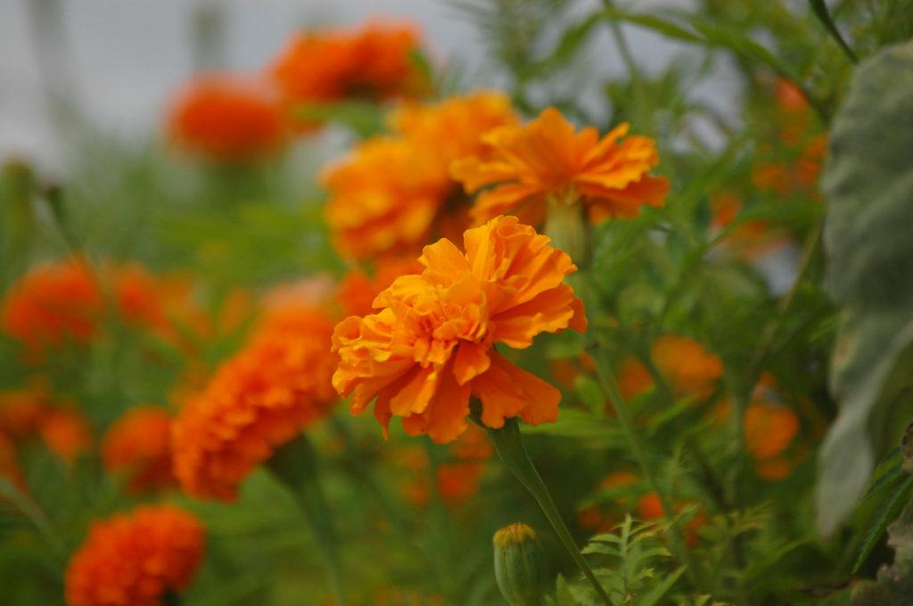 カーネーションの花と花言葉
