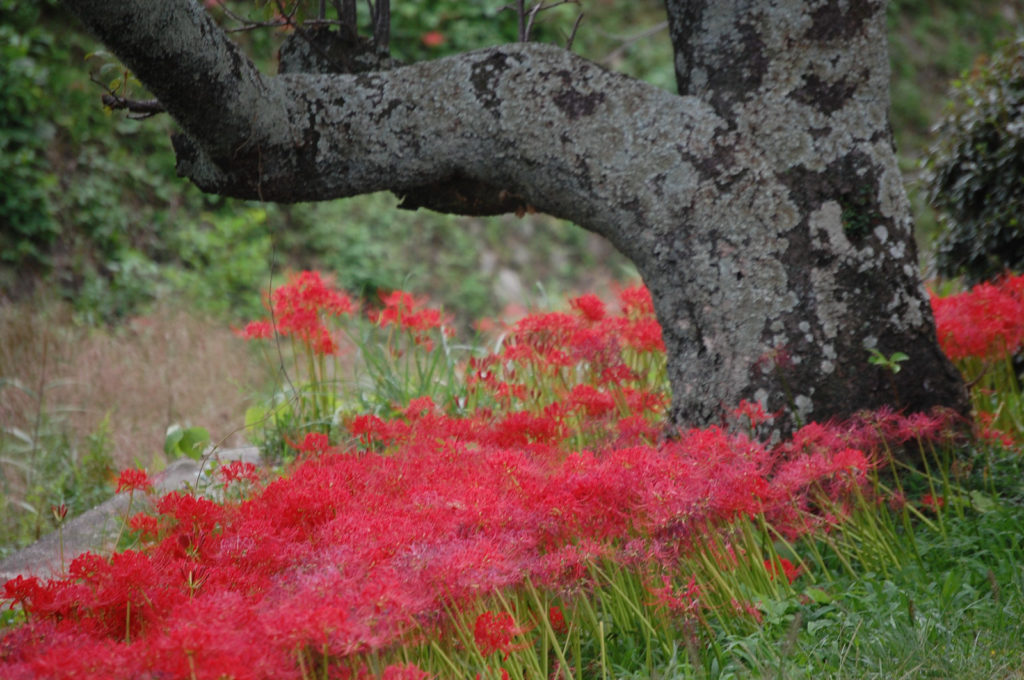 彼岸花の花言葉、誕生花