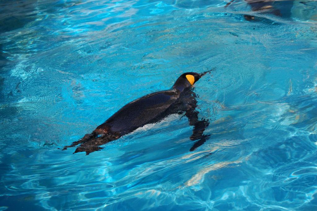 艶々で綺麗なペンギンの背中