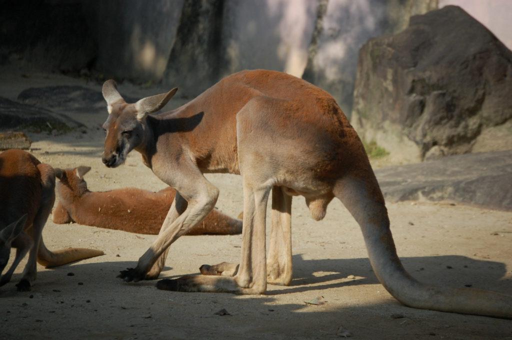 前脚を上げるカンガルー