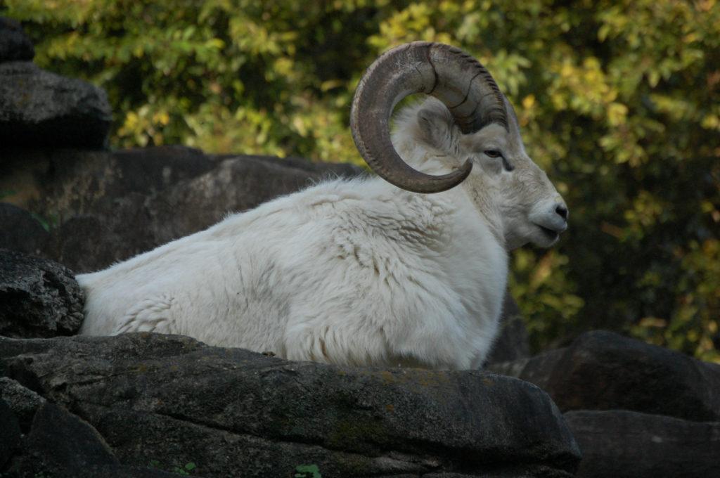 ヤギ(山羊)