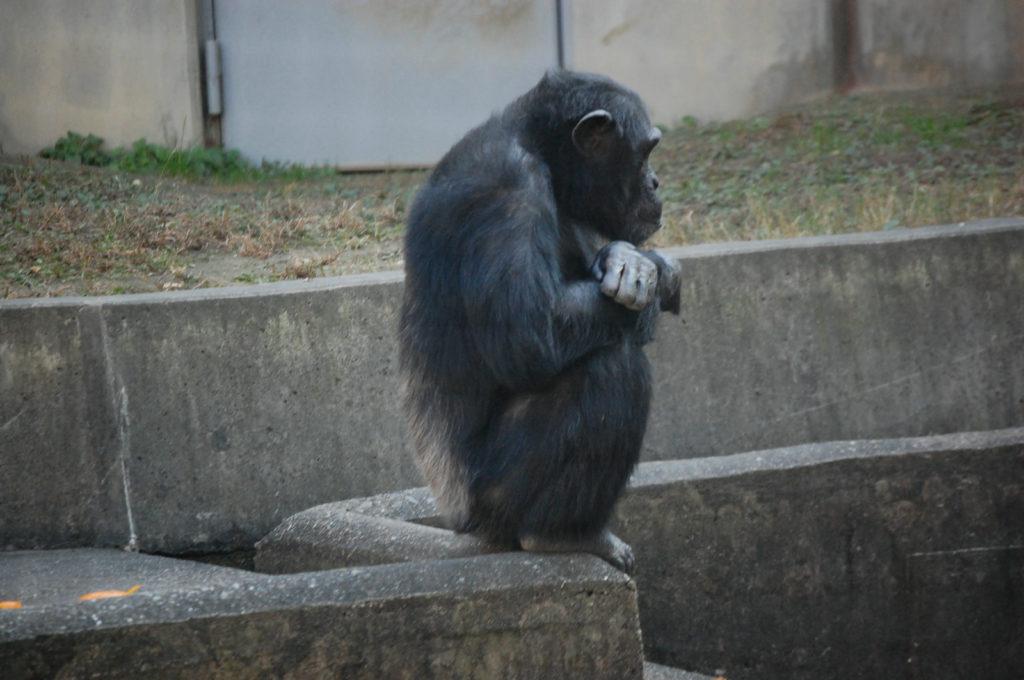遠くを見つめるチンパンジー