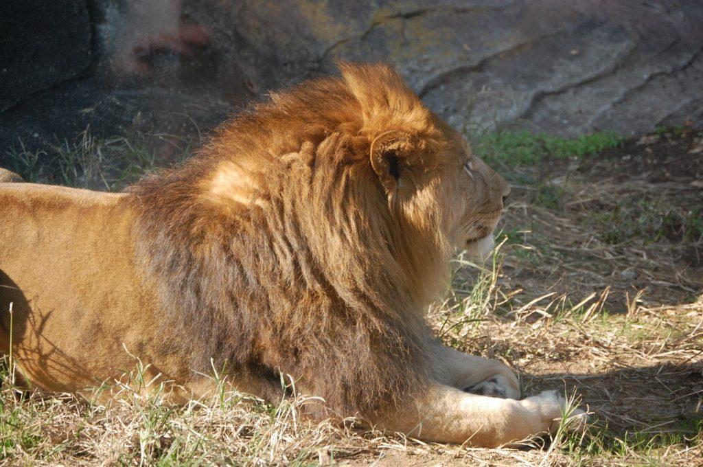 ポカポカ日差しが気持ちよさそうなライオン