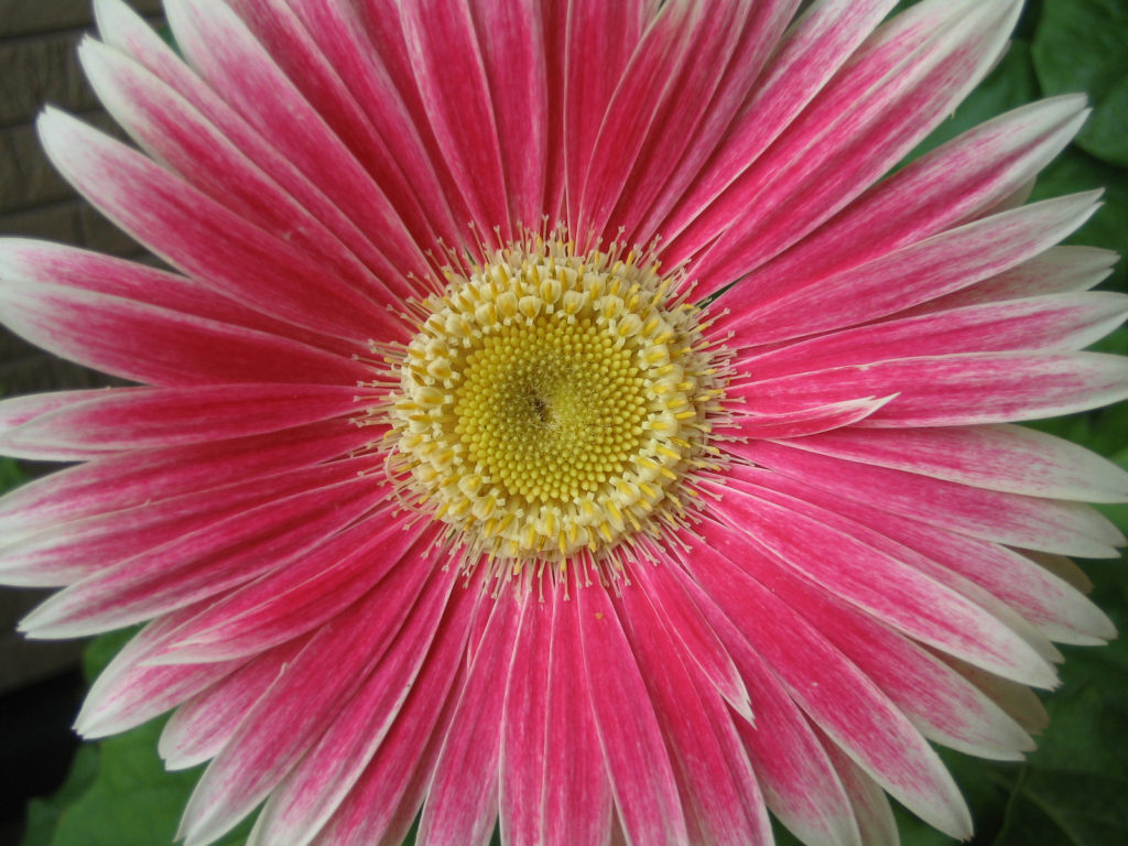 インパクトが強いガーベラの花びら