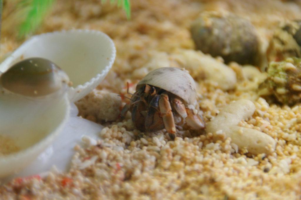 新しい貝が気になるヤドカリ