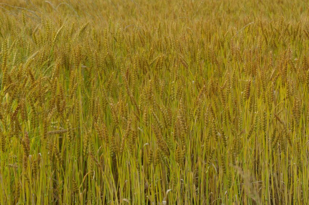 秋の麦畑の風景