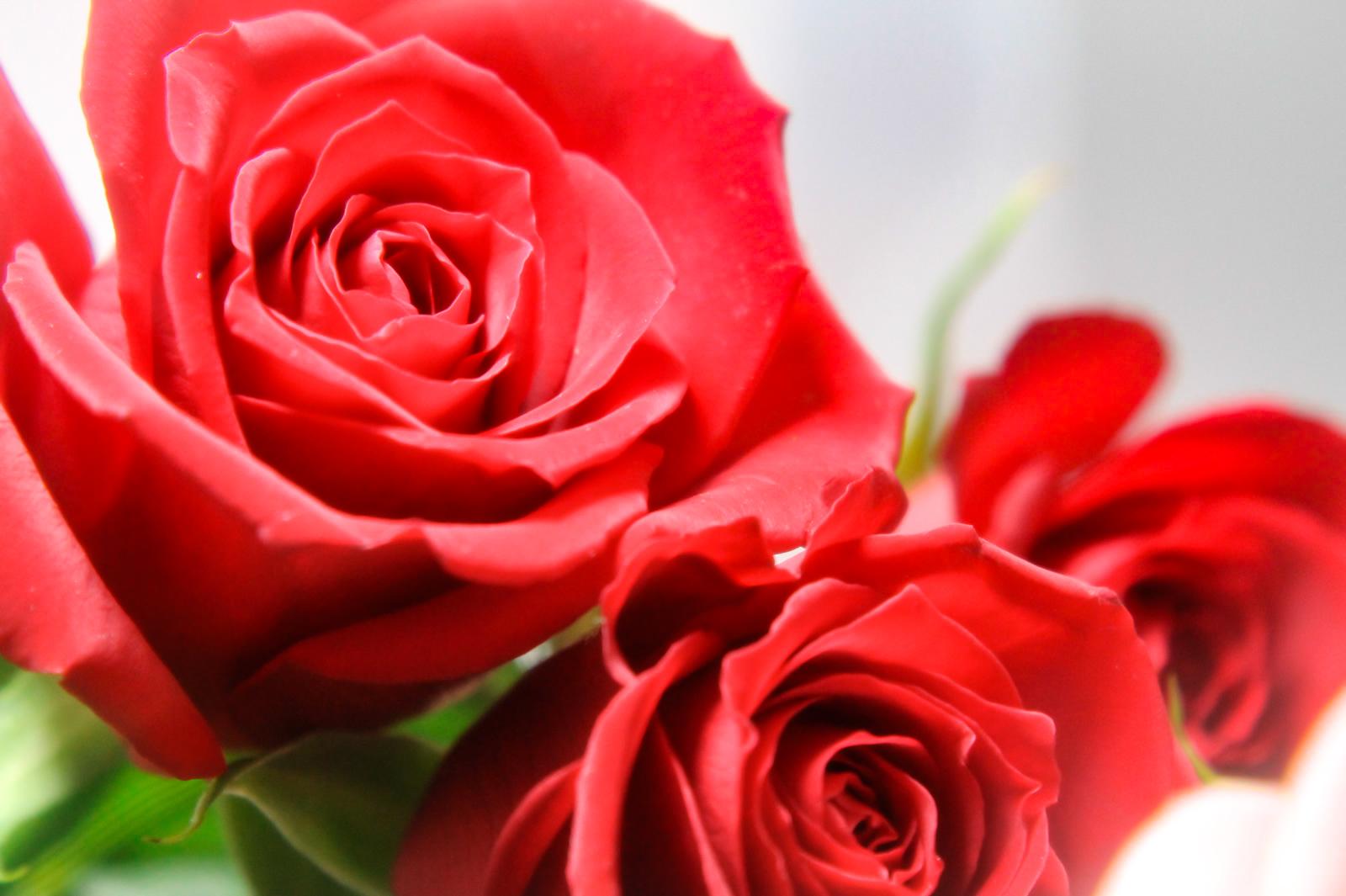 薔薇の花言葉と情熱の赤い薔薇