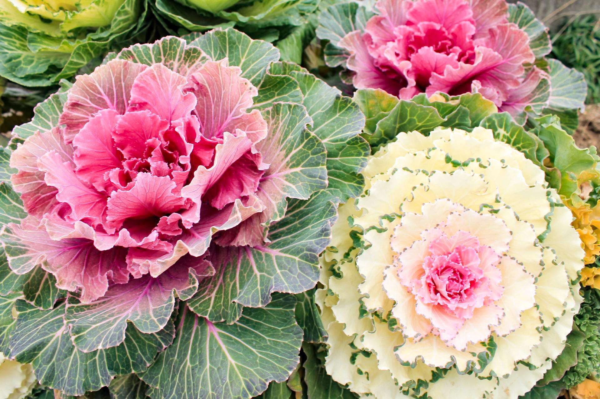 葉牡丹の花言葉と誕生花