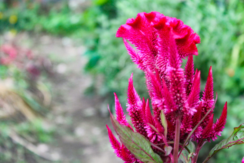 ケイトウの花言葉と切り花