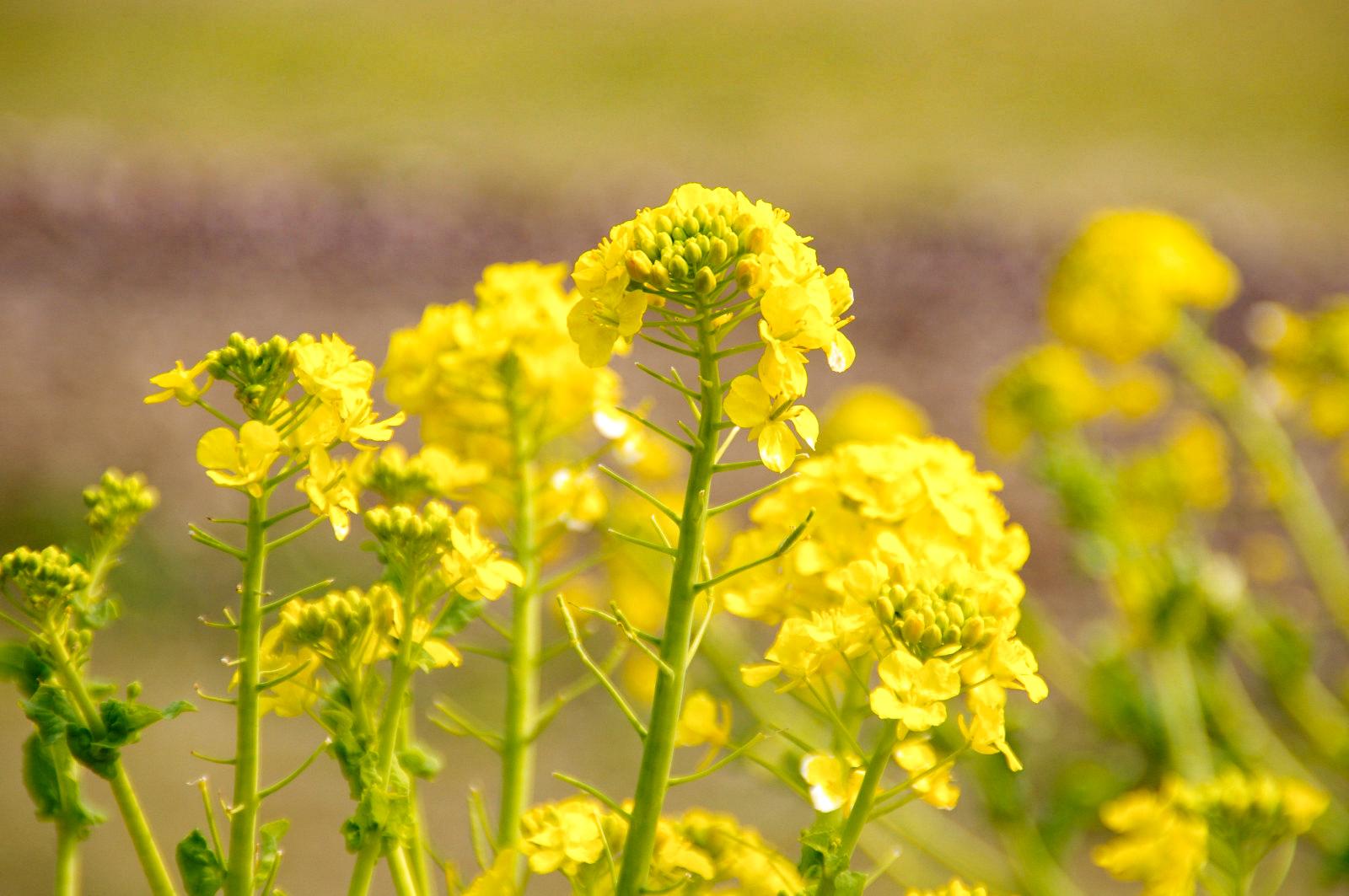 沿道に咲く菜の花