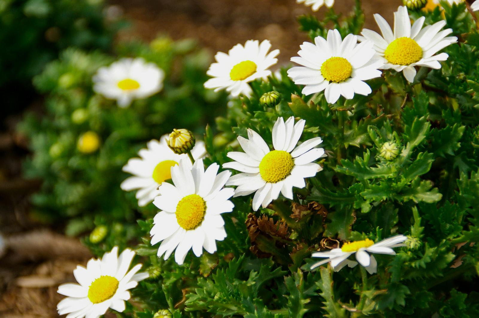 花壇のアクセントにノースポール