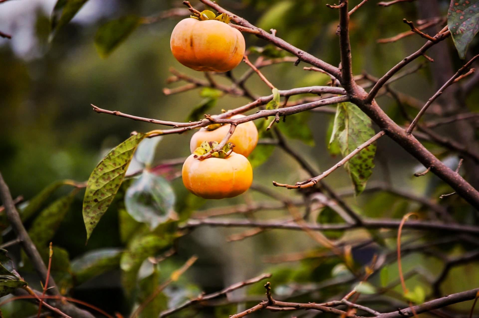柿の木に実る3つの柿