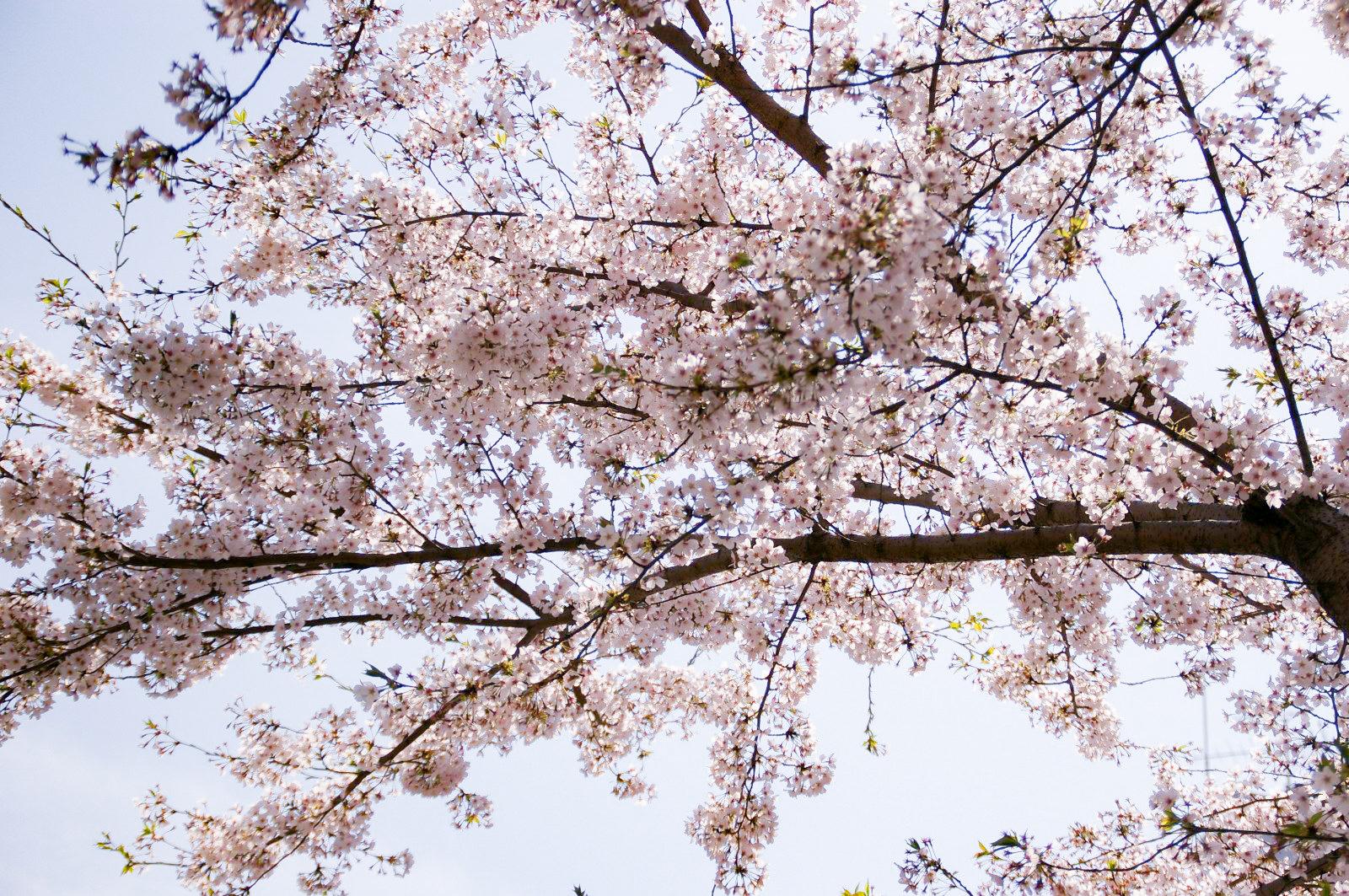 よく晴れた空に桜の花