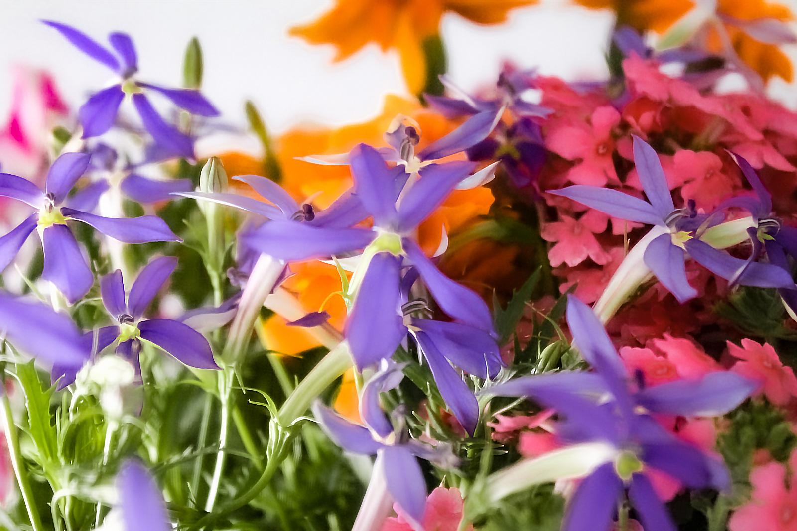 イソトマの花言葉は強烈な誘惑