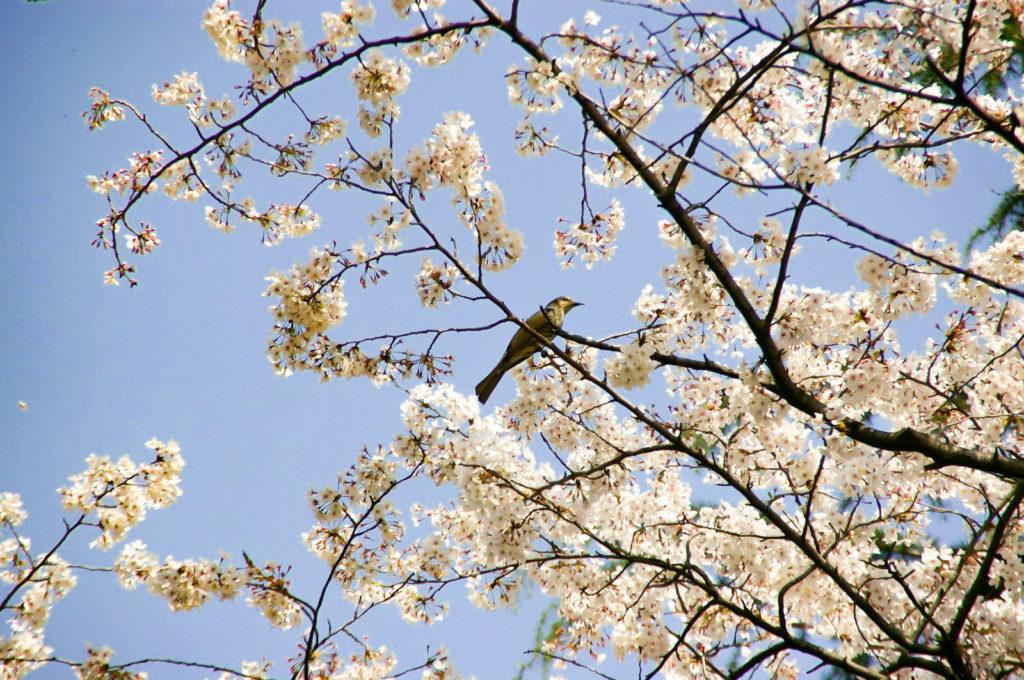 桜の枝に止まる鳥