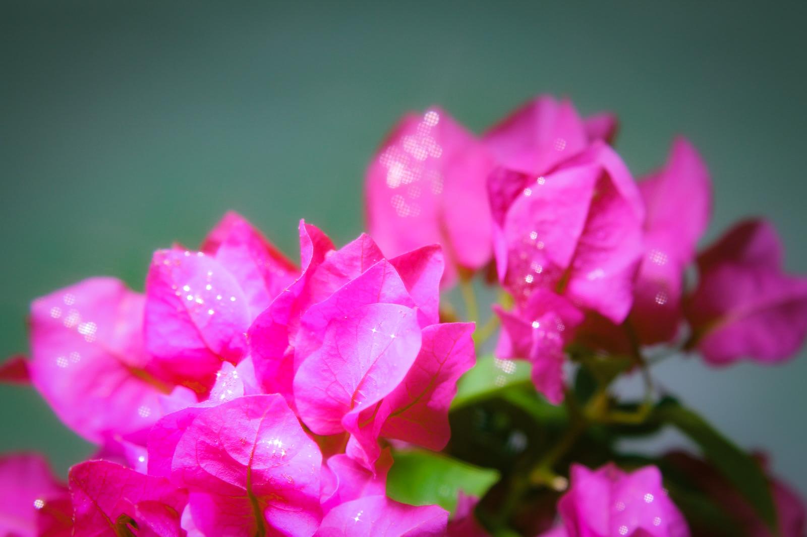 水滴が輝くブーゲンビリア