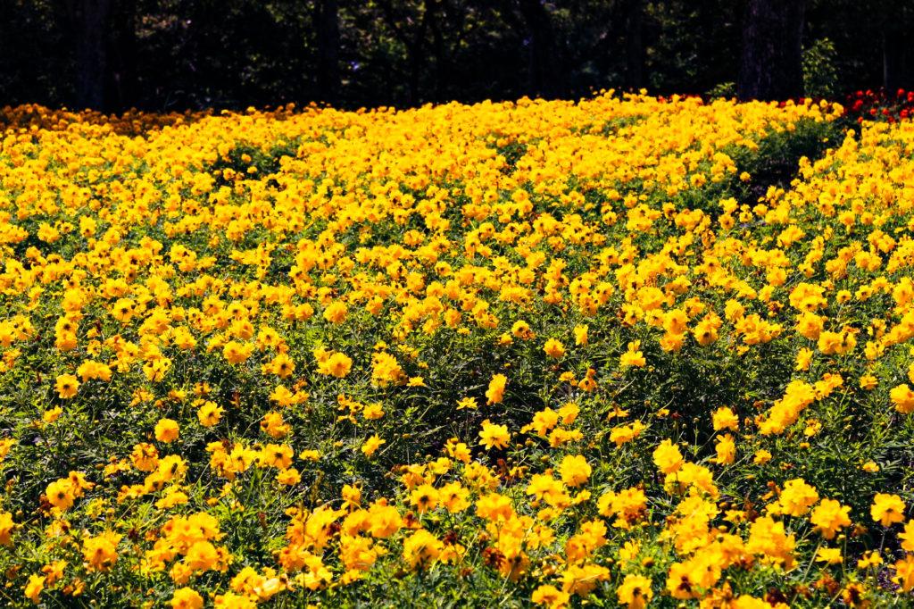 花壇に咲く黄花コスモス