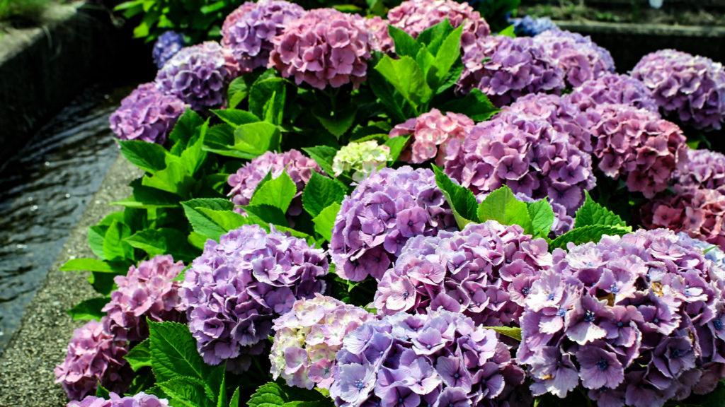 川辺に咲く紫陽花(アジサイ)の花