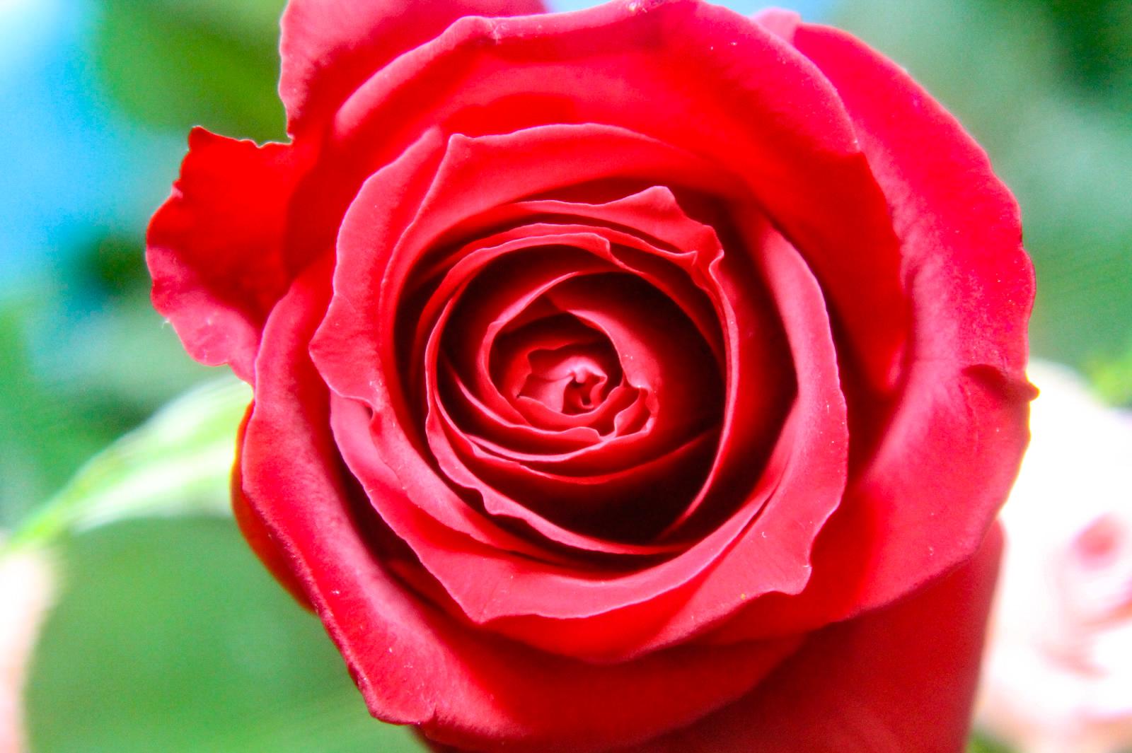 咲き始めの赤い薔薇(バラ)