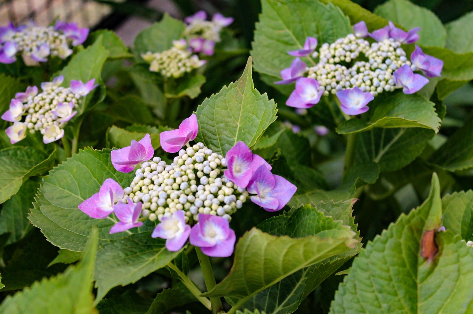 立ち並ぶ額紫陽花(がくあじさい)