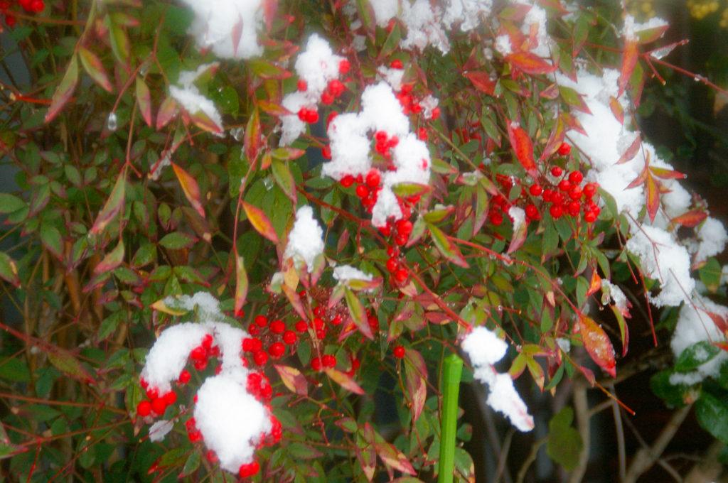 少し雪がかかった南天