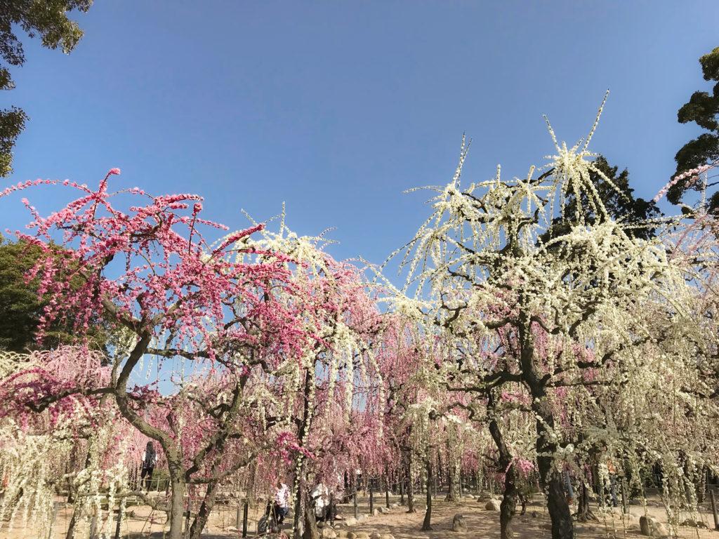 枝垂れ梅と青空